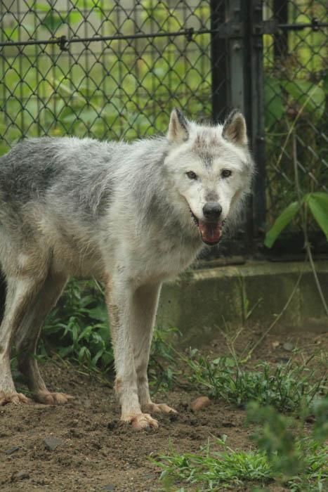 秋田市大森山動物園 シンリンオオカミ 動物写真