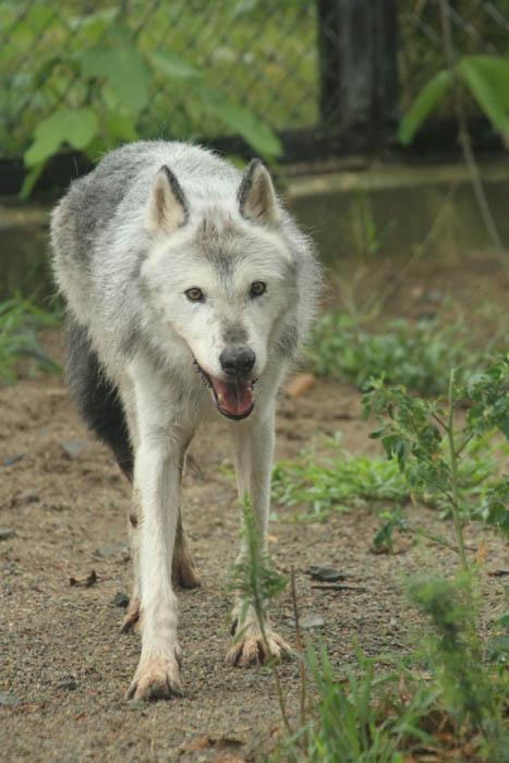 大森山動物園 シンリンオオカミ