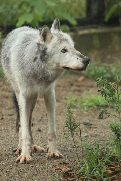 シンリンオオカミ 動物園 写真
