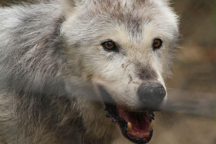 シンリンオオカミ 画像