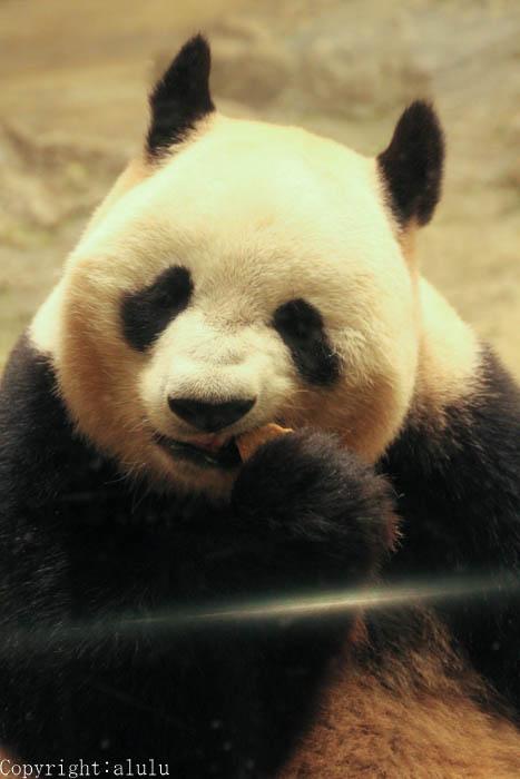 ジャイアントパンダ 動物園 写真