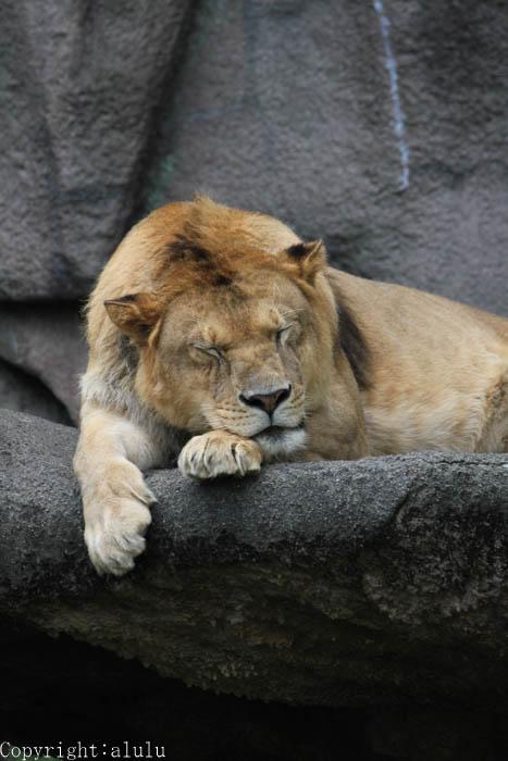 ライオン 動物園へ 写真