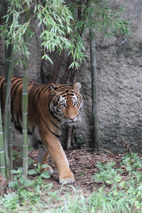 浜松市動物園 アムールトラ 画像