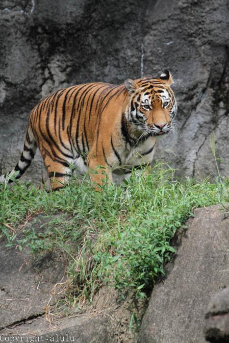 浜松市動物園 アムールトラ