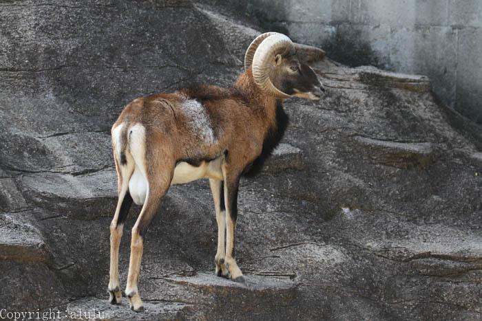 天王寺動物園 ムフロン 画像