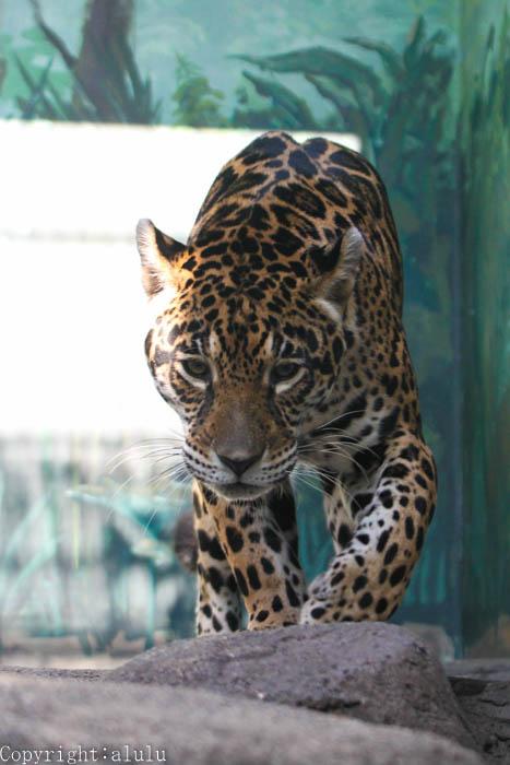 ジャガー 動物写真