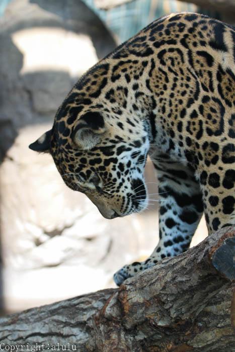 ジャガー 画像