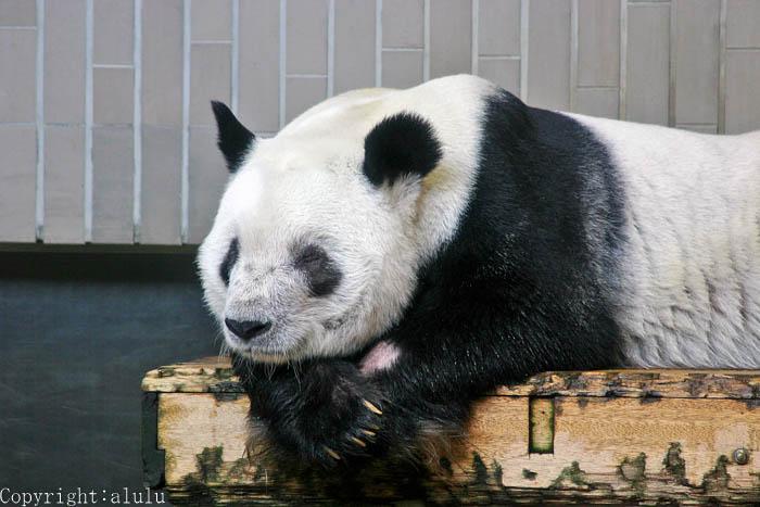 ジャイアントパンダ 画像