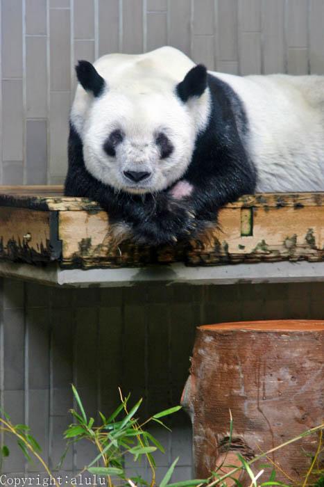 上野動物園 ジャイアントパンダ 写真