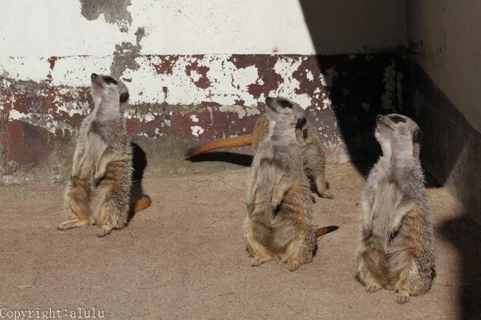 東武動物公園 ミーアキャット 写真
