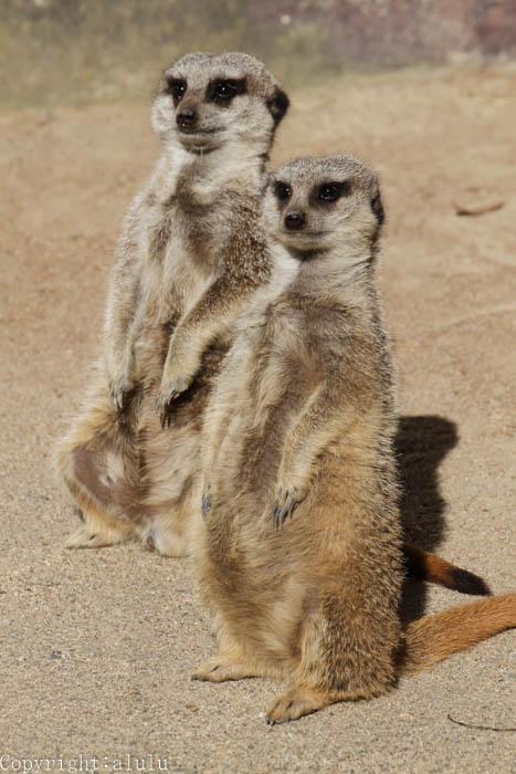 ミーアキャット 動物園 写真