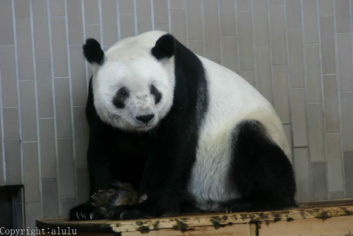 上野動物園 ジャイアントパンダ 昔