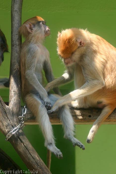 パタスザル サル さる