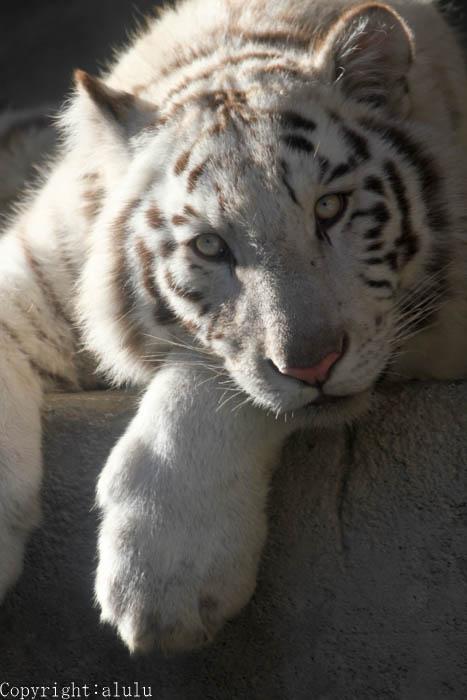 ホワイトタイガー いる動物園 東武動物公園