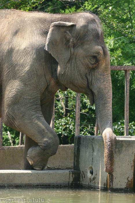 日本平動物園 アジアゾウ 画像