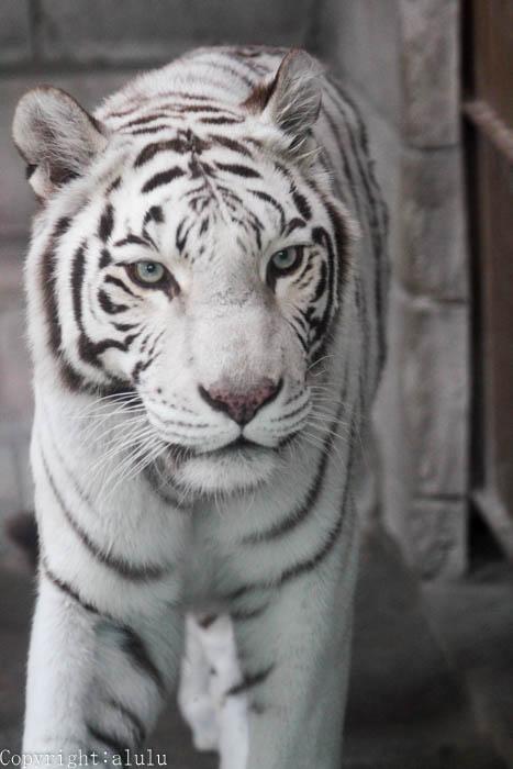 ホワイトタイガー 画像