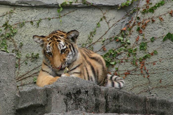 静岡市日本平動物園 アムールトラ 画像