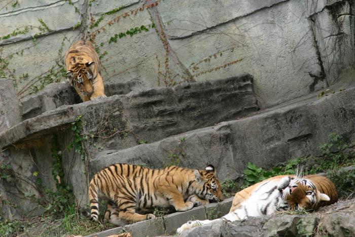 静岡市日本平動物園 アムールトラ