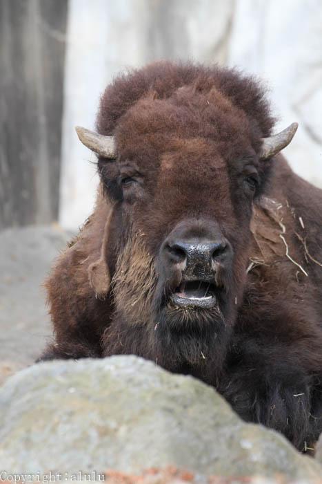 静岡市日本平動物園 アメリカバイソン