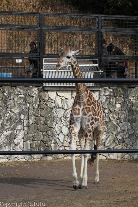 マサイキリン 日本平動物園