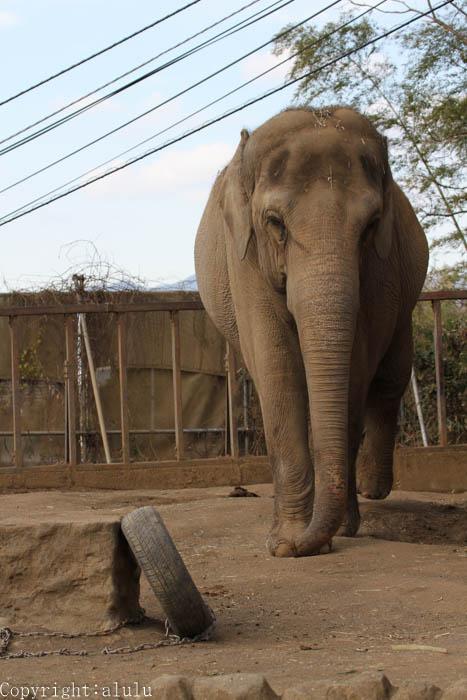 日本平動物園 ゾウ 画像