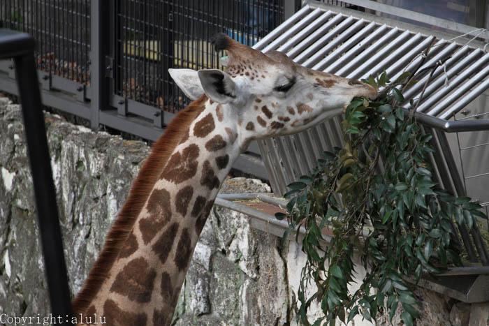 日本平動物園 マサイキリン 子ども