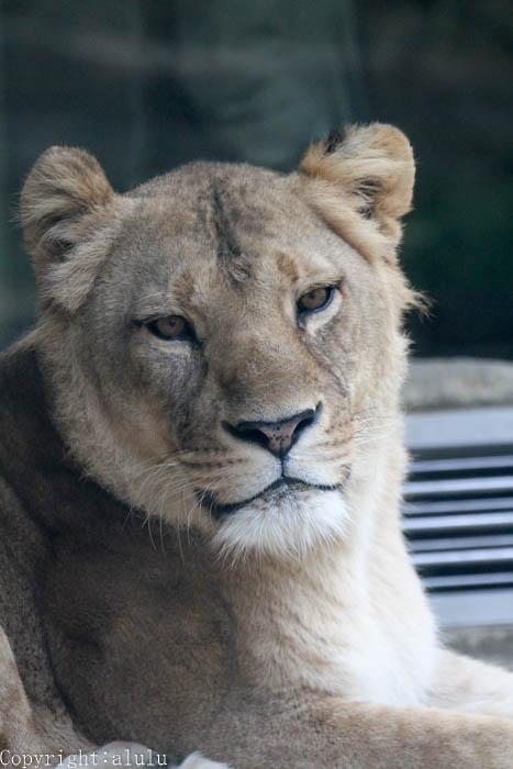 日本平動物園 猛獣館299 ライオン