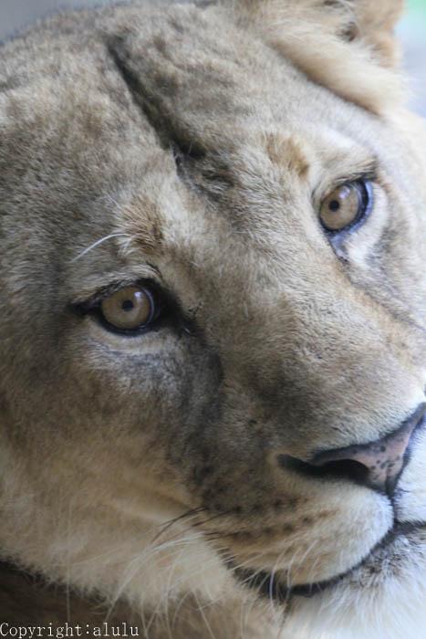 ライオン メス 日本平動物園