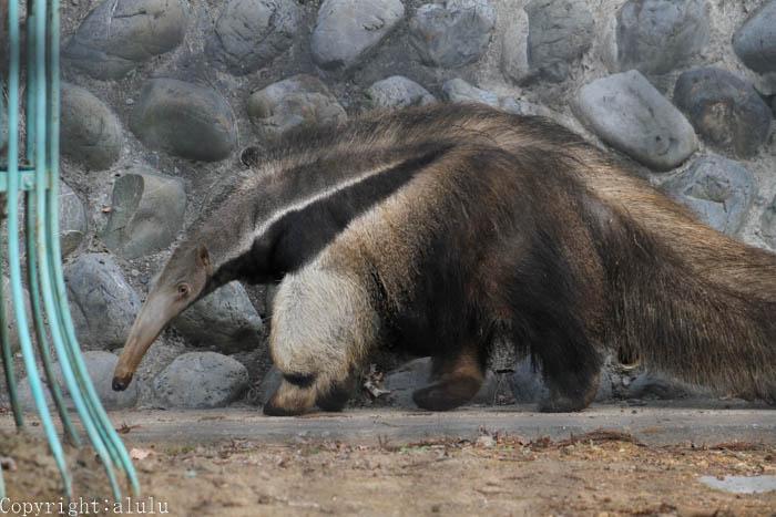 静岡市日本平動物園 オオアリクイ
