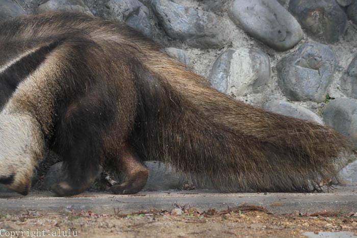 日本平動物園 オオアリクイ