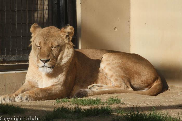 ライオン 動物写真