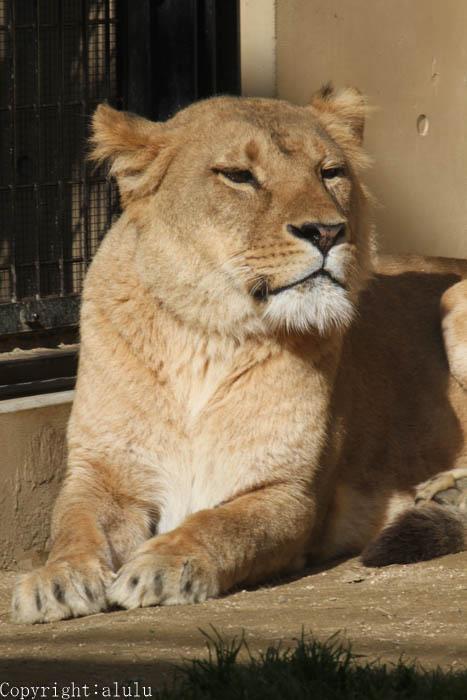 ライオン 画像