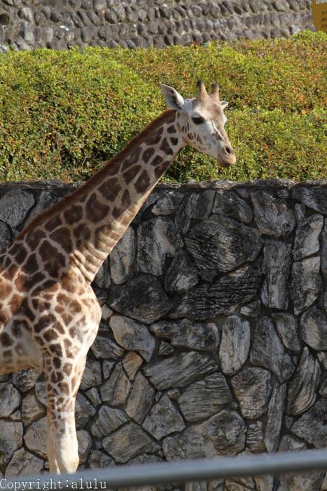日本平動物園 キリン 画像