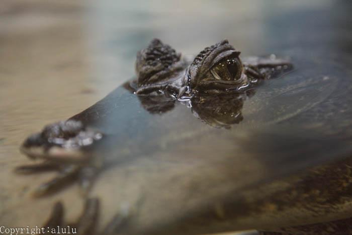 福山市立動物園 メガネカイマン