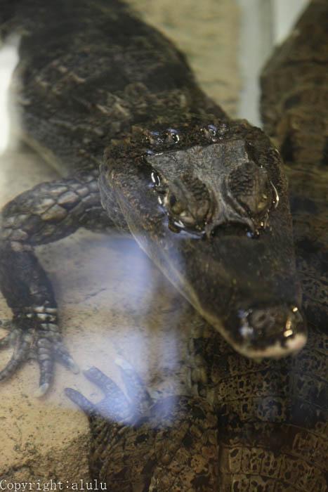 メガネカイマン 爬虫類