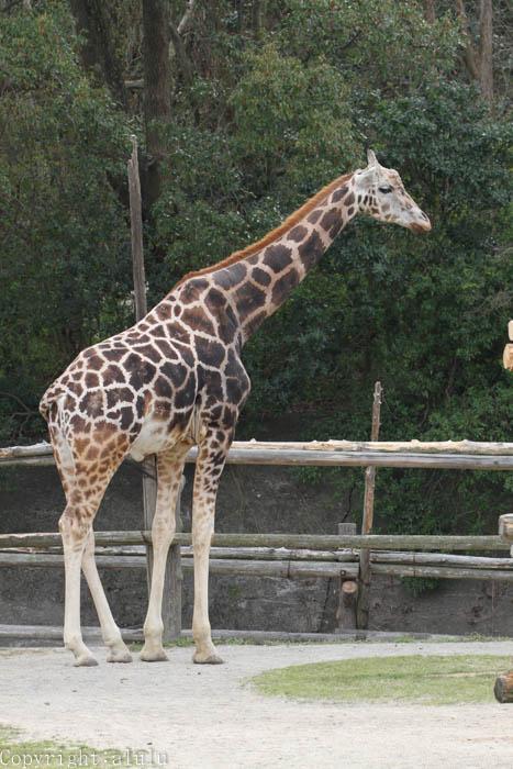 アミメキリン 動物写真