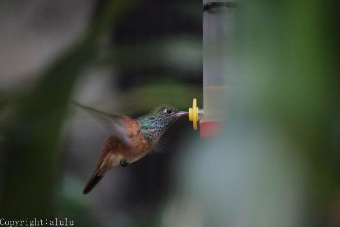 日本平動物園 チャムネエメラルドハチドリ ホバーリング