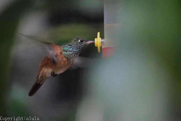 チャムネエメラルドハチドリ ホバーリング 画像