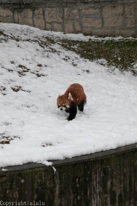 安佐動物公園 レッサーパンダ
