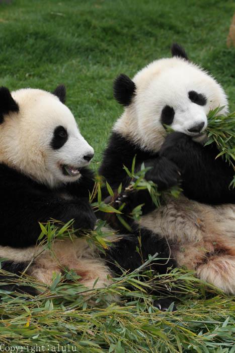 アドベンチャーワールド 動物写真 ジャイアントパンダ