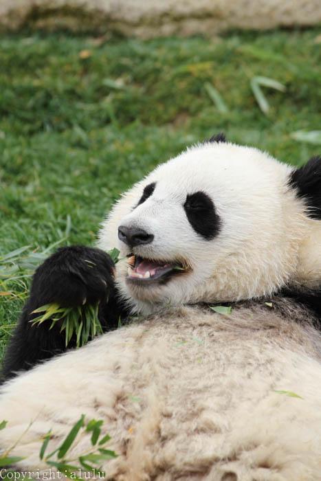 アドベンチャーワールド ジャイアントパンダ 画像