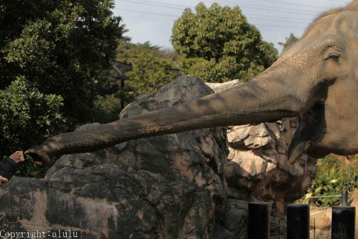 到津の森公園 セイロンゾウ アジアゾウ