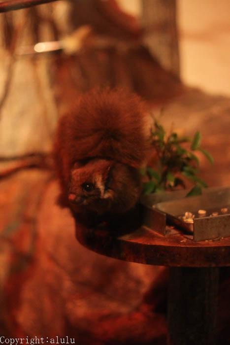 日本平動物園 ムササビ