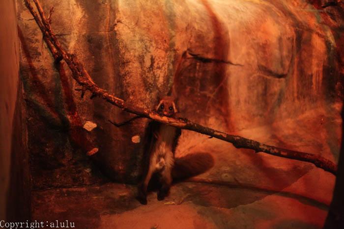 日本平動物園 夜行性動物館 ムササビ