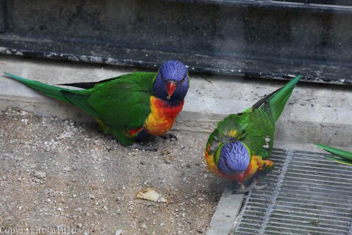 ゴシキセイガイインコ 動物園 写真