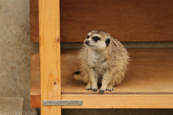 ミーアキャット 動物園へ 写真