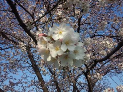 photo_derosa_sakura_0331_5_2016_0331.jpg