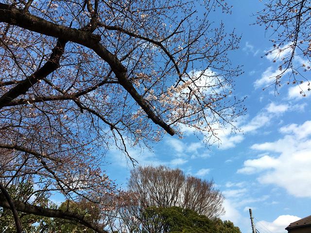 開花の進行が遅い2016年3月27日東京の桜1 by占いとか魔術とか所蔵画像