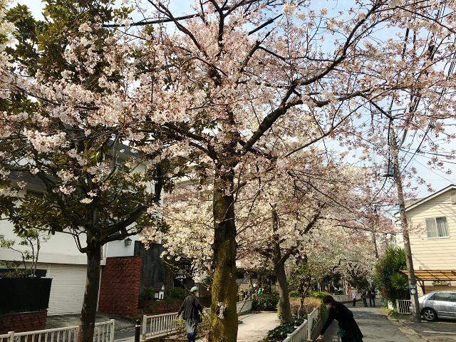 2016年3月30日満開になった東京桜1 by占いとか魔術とか所蔵画像