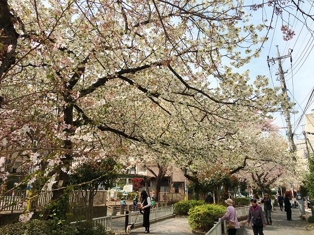 2016年3月30日満開になった東京桜2 by占いとか魔術とか所蔵画像